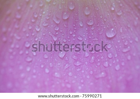 Lotus petals background