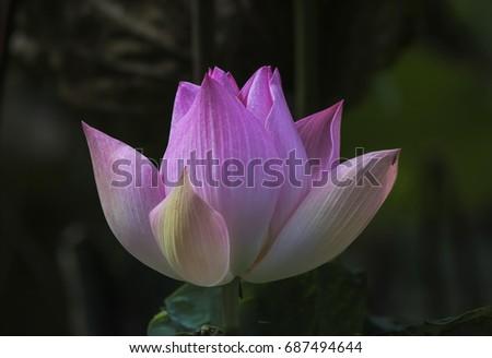Lotus pink. #687494644
