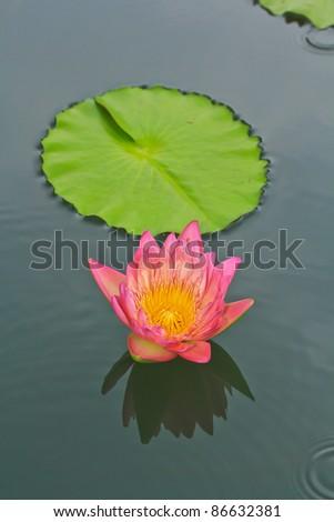 lotus pink in garden thailand