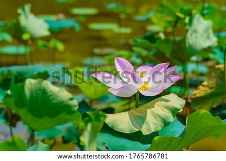 Lotus Pond Lotus Pond Lotus Pond Lotus Pond