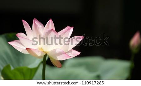 Lotus pool flower blooming in summer