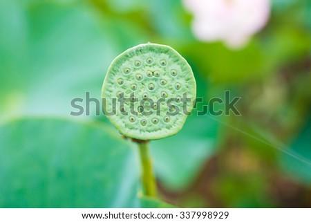 Lotus seeds lotus flower rare flower ancient flower a symbol of lotus seeds lotus flower rare flower ancient flower a symbol of purity mightylinksfo