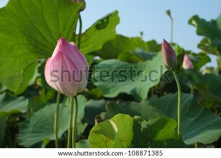 lotus under blue sky