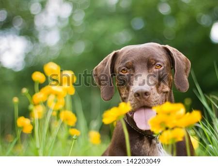 Louisiana Catahoula Leopard Dog - brown dog in nature