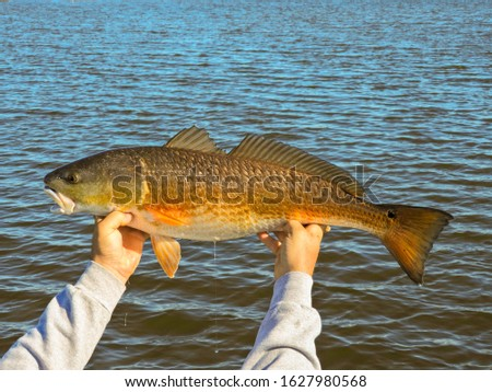 Louisiana Redfish Caught In Louisiana Marsh
