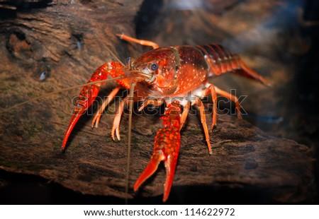 louisiana swamp crayfish Procambarus clarkii