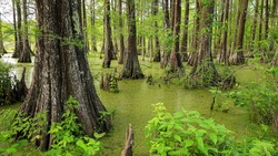 Louisiana swamp filled with Cypress Trees at Cypress Island Preserve