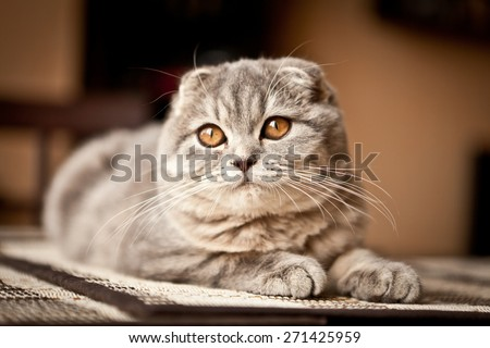 Lovable scottish fold cat