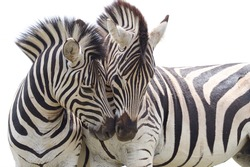 Lovable Zebras In South Africa