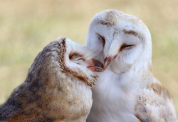 Love barnowls kisses