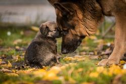 love between puppy and german shepherd