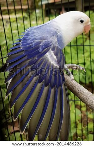 Love Bird biola, Agapornis opaline violet by paviary Foto stock ©