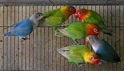 Love bird colony in a cage.