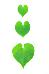 Love concept with Heart-leaved Moonseed or Gulancha Tinospora on white background. Science name is Tinospora baenzigeri Forman.