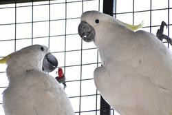 love couple of krakatoa bird looking at each other