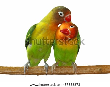 Love Lovebird isolated on white Agapornis fischeri (Fischer's Lovebird) exclusive - stock photo