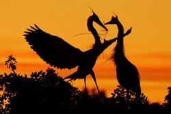 Love on the tree with orange sunset. Wildlife scene from nature. Birds in love, courtship ceremony of herons in nesting season, Florida.