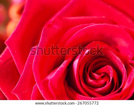 love rose single flowers backgrounds