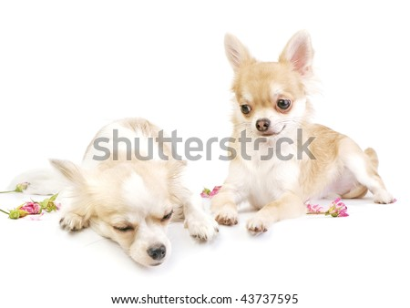 love story (continued),  couple of chihuahua puppies on white with roses