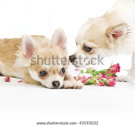 love story,  couple of chihuahua puppies on white with roses