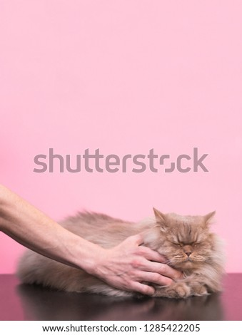 Love to animals. Man stroking a fluffy cat on a pink background, hands and a cat close-up. Сat likes it when he strokes it, he closed his eyes and was pleased. #1285422205