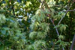 Love Vine (Clematis virginiana)  also known as devil's darning needles, devil's hair, love vine, traveller's joy, virgin's bower, Virginia virgin's bower, wild hops, and woodbine.
