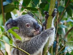 Loveable Appealing Young Koala Clinging Tightly to a Eucalyptus Tree.