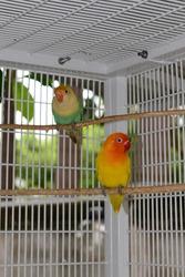 Lovebird (Agapornis) in Bangkok, Thailand, Asia