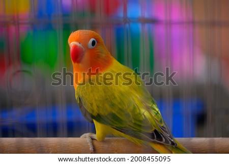 Lovebird Dark green Opaline fischer Foto stock ©