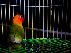 Lovebird fischer's glasses or called Agapornis fischeri