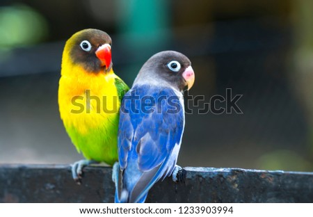 Lovebird parrots sitting together. This birds lives in the forest and is domesticated to domestic animals #1233903994