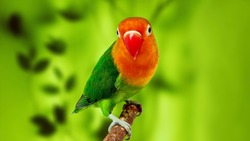 lovebird photos with nature background, green lovebird, for backgrounds, wallpapers or animal photo collections.