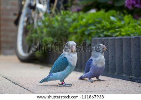 lovebirds in garden