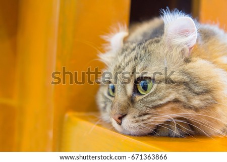Lovely American Curl cat on the wood table