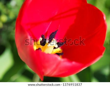 lovely big single red single tulip at springtime