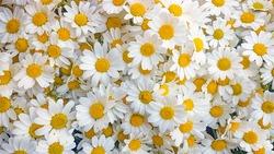 Lovely blossom daisy flowers background. White daisy texture.