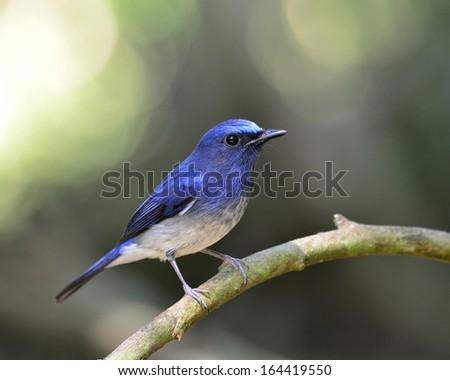 Lovely blue bird, hainan blue flycatcher bird with bokeh background