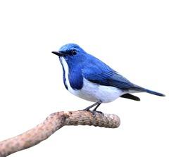 Lovely blue bird, Ultramarine Flycatcher posing on the branch isolated on white background