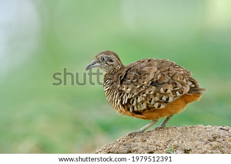 lovely brown camouflage making puffy feathers while standing over dirt pole in its habitation spot over fine blur green background in nature, male of Barred Buttonquail (Turnix suscitator) Photo stock ©