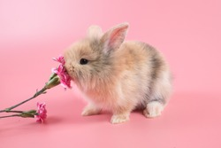 Lovely bunny easter brown rabbit on pink background.Cute fluffy rabbit on pink background with pink carnation flower.1 month old Lovely mammal with beautiful bright eyes in nature life.Animal concept.