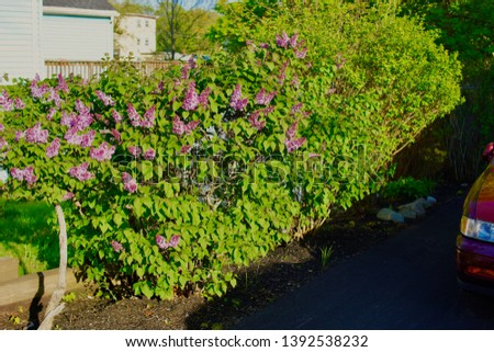 Lovely bushes next to my grandmas house