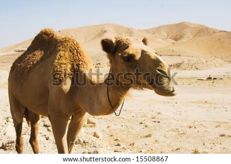 lovely camel