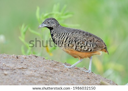 lovely camouflage brown with black chest walking up the hill looking for fresh meal in its habitat environment, female Barred buttonquail (urnix suscitator) Photo stock ©