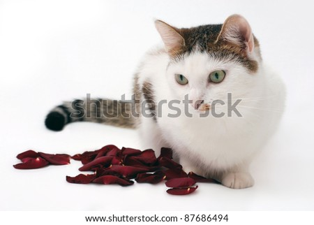 Lovely cat and rose petals on the white background