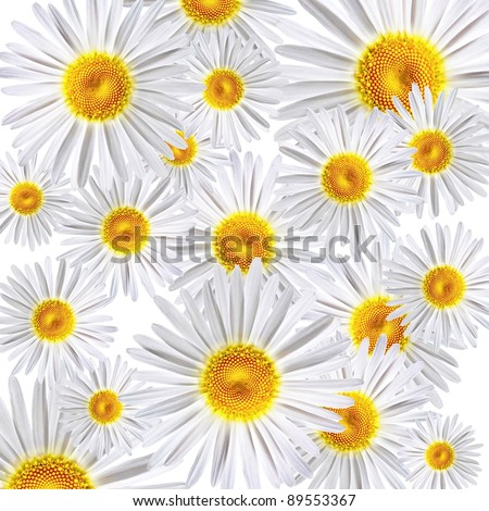 lovely chamomiles on white background