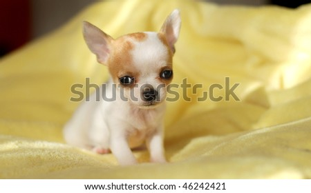 lovely chihuahua puppy