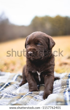 Lovely Chocolate Lab Puppy Sitting on Blanket in Field