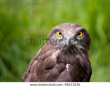 Lovely closeup of a black chested snake eagle against a lovely green background, lots of detail