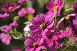 lovely collection of pink cosmos flower and plant cosmea