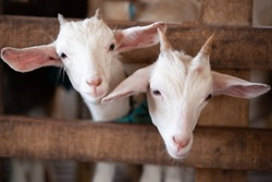 Lovely couple kid white goats. Two little white goats standing in wooden shelter and looking at the camera. Cute with funny. Close-up. Soft sunlight. Shallow depth of field. Local Thai farm, Thailand.